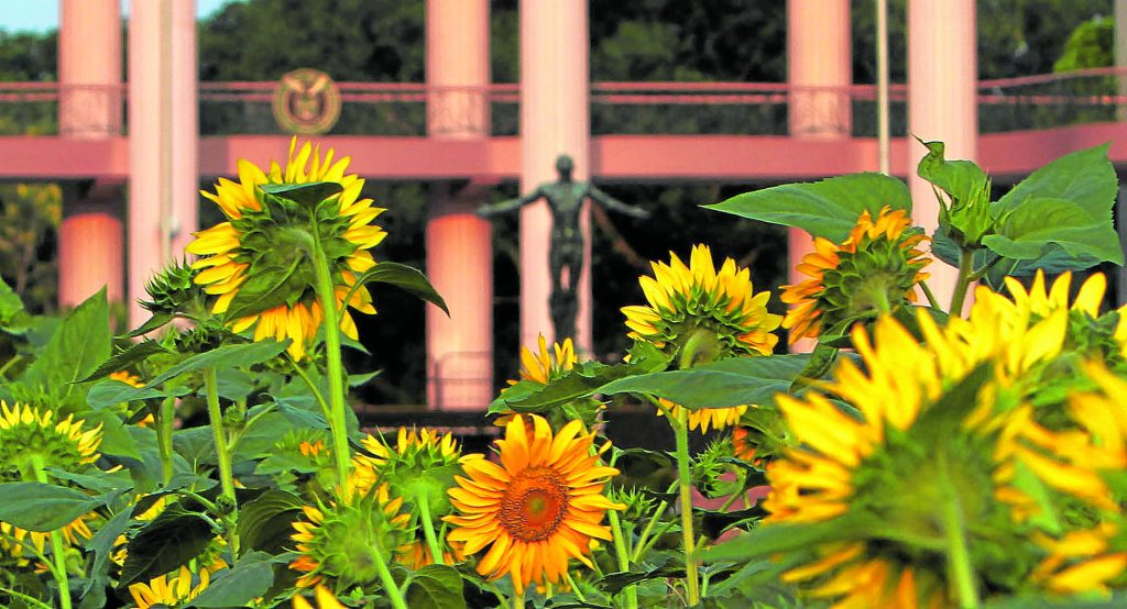 Sunflowers during UP graduation